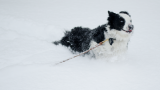 Snow continues and so does the Border collie play