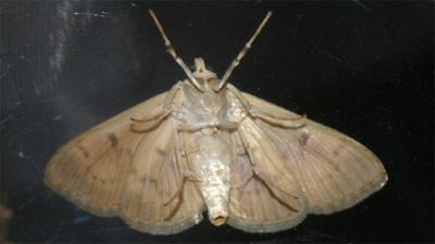 Miller Moth