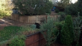A bear wanders through the backyard of a Highlands Ranch home on Sept. 26, 2012. (Jamie Burton)