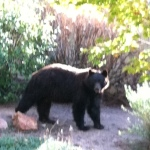 Another viewer photo of a large bear that wandered through a Highlands Ranch neighborhood on Sept. 26, 2012.