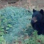 This bear prompted emergency notifications in a Highlands Ranch neighborhood on Sept. 26, 2012. (Douglas County Sheriff's Office)