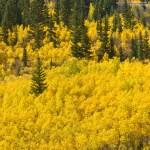 Fall colors along Guanella Pass Road on Sept. 16, 2012. (David Harpe)