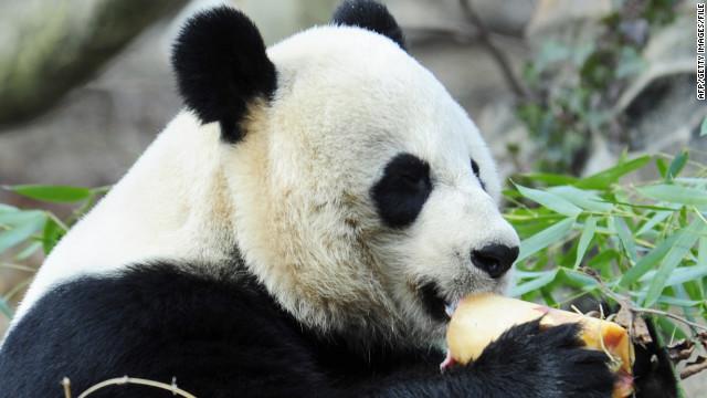 Giant Panda Mei Xiang enjoys a fruitscicle January 20, 2011 at the Smithsonian Institution's National Zoo in Washington, DC. (CNN)