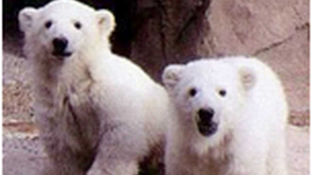 Sibling polar bears Klondike and Snow were born in Denver nearly two decades ago. Snow died in Tucson, Ariz. on Sept. 2, 2012.