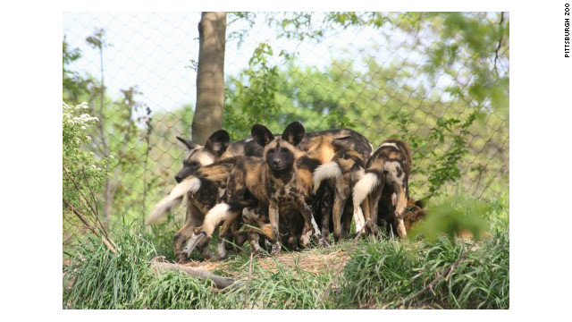 A photo of African painted dogs at the Pittsburgh Zoo. Some of the animals killed a boy who fell into their exhibit on Nov. 4, the zoo said (CNN).