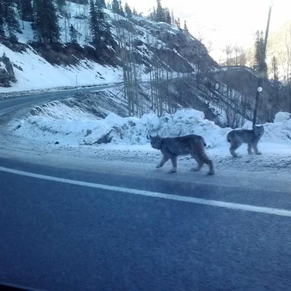 Lynx sighting in San Juan Mountains (Photo Reddit)