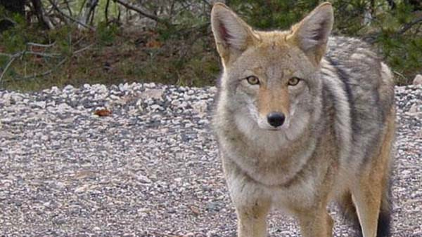 Boulder police are warning residents after a jogger in the area was attacked by a coyote on Dec. 29, 2012. (Photo: Flickr)