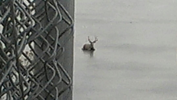 An elk struggles after getting stuck in the ice in a Golden pond on Jan. 10, 2013.