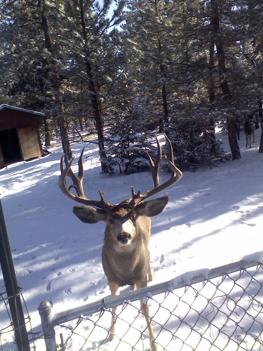 A deer enjoys the snow in the Foothills