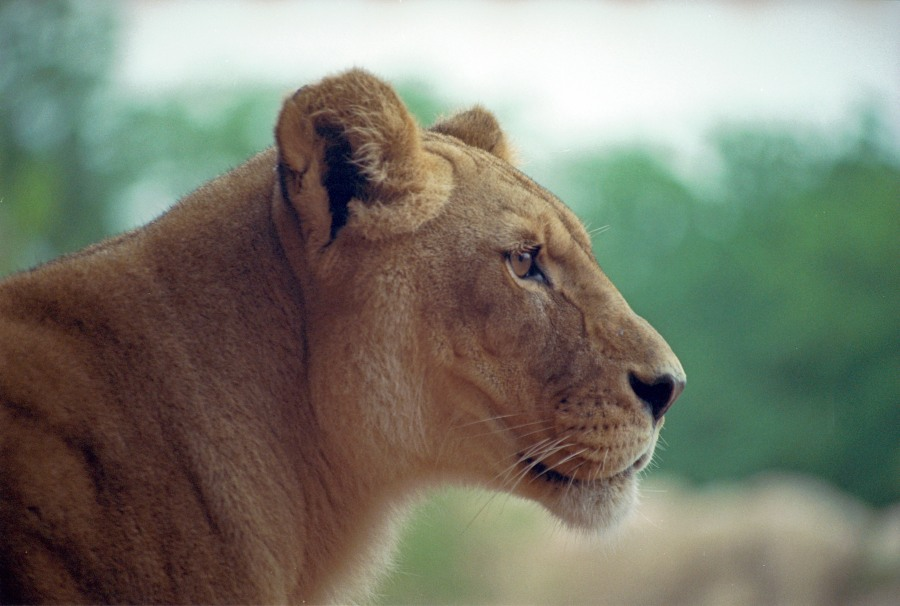 Tawny came to the Denver Zoo from Ohio's Columbus Zoo in May 2004. She passed away on Feb. 27, 2013 (Photo: Denver Zoo)