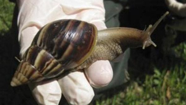 A Giant African land snail is seen in this handout picture from the Florida Department of Agriculture Division of Plant Industry.