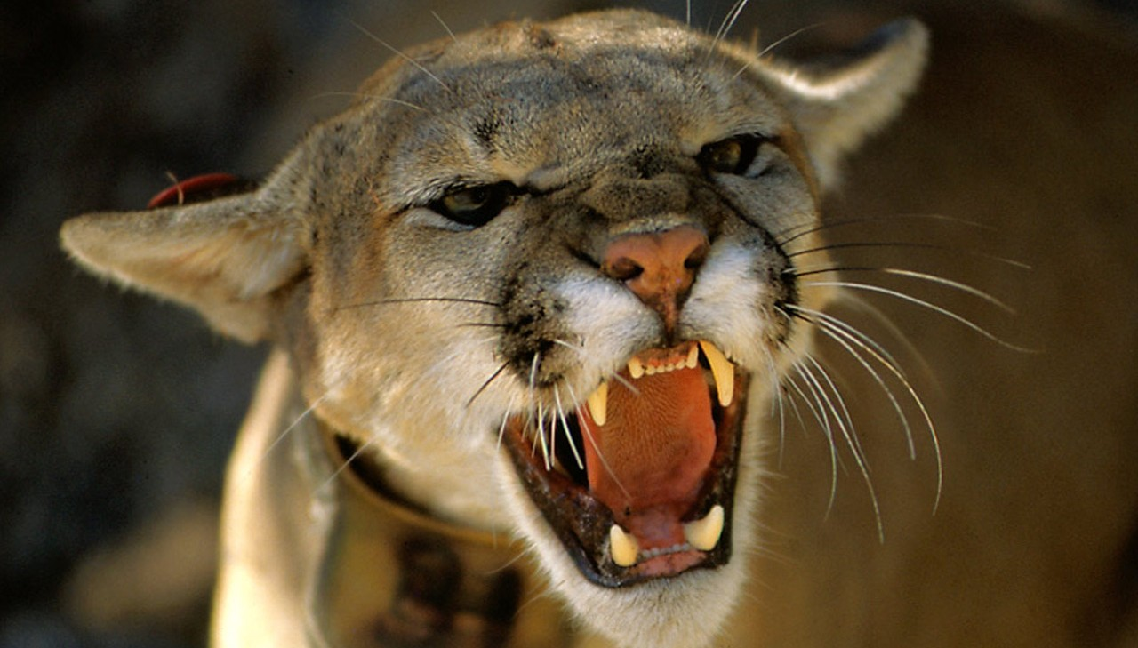 A skateboard may have saved a man from being the lunch of a hungry cougar in a Canadian resort town last week. (Credit: George Mobley/MGN)