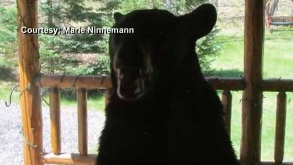 This black bear was Gerre Ninnemann until his wife beat it back with the butt of a rifle. (Photo: Ninnemann family)