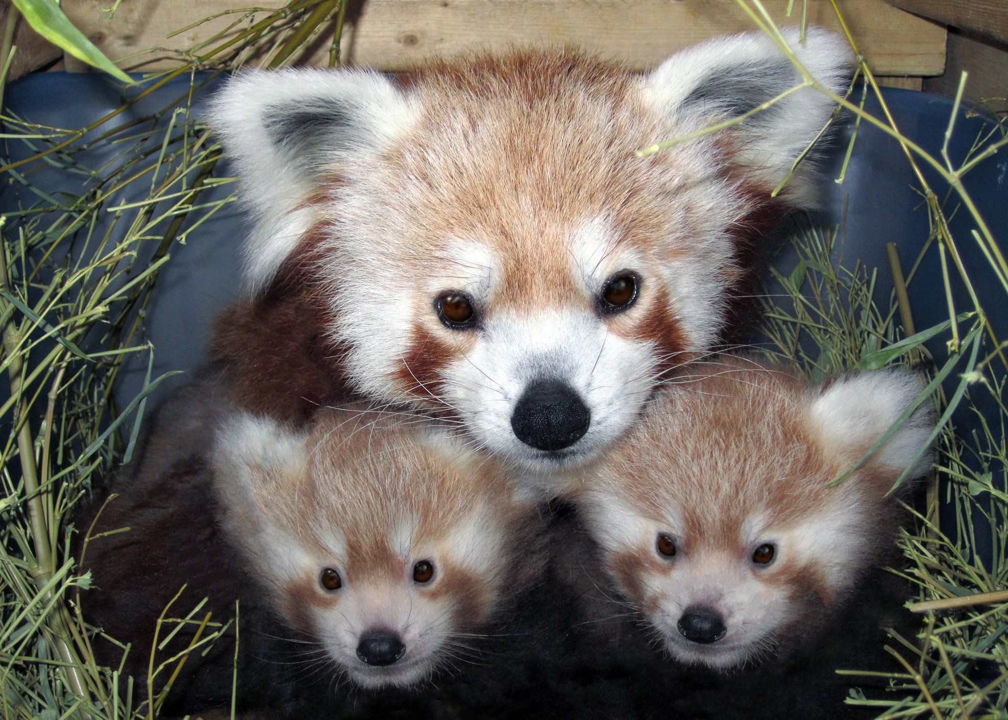 Rusty the red panda, on loan at the National Zoo in Washington, DC, somehow escaped from that facility. (Credit: CNN)