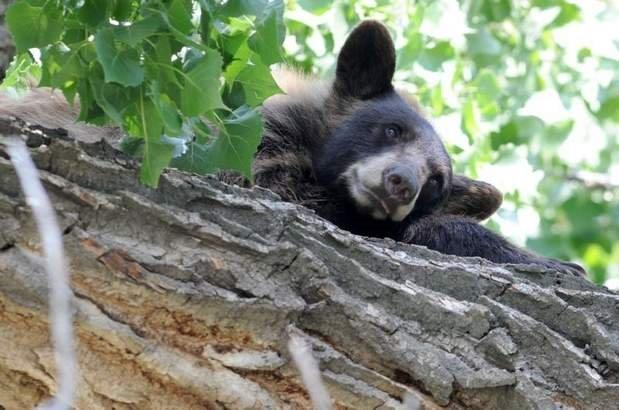 Loveland residents see Bear in tree (credit: Coloradoan)