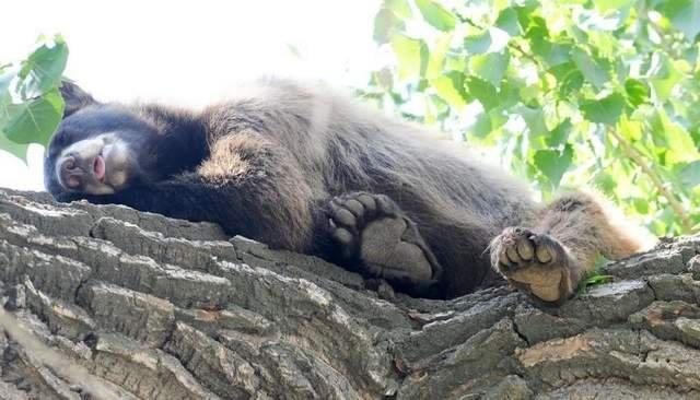 Loveland residents see bear lounging in tree (credit: Coloradoan)
