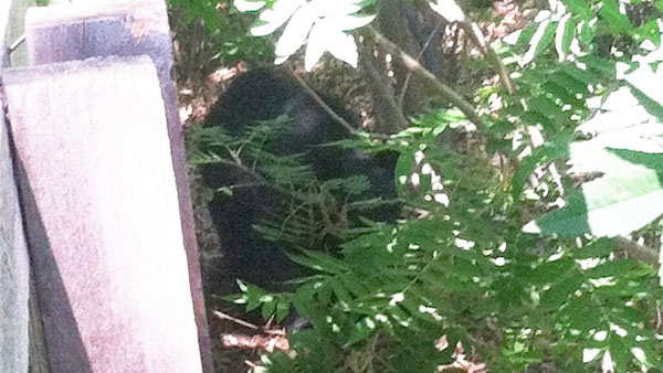 Arvada police release several photos of the black bear.