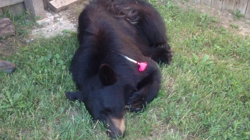 A black bear roving an Arvada neighborhood was shot with a tranquilizer dart Thursday morning and will be moved to a safer location, the Arvada Police Department reported. (Credit: COParksWildlife via Twitter)