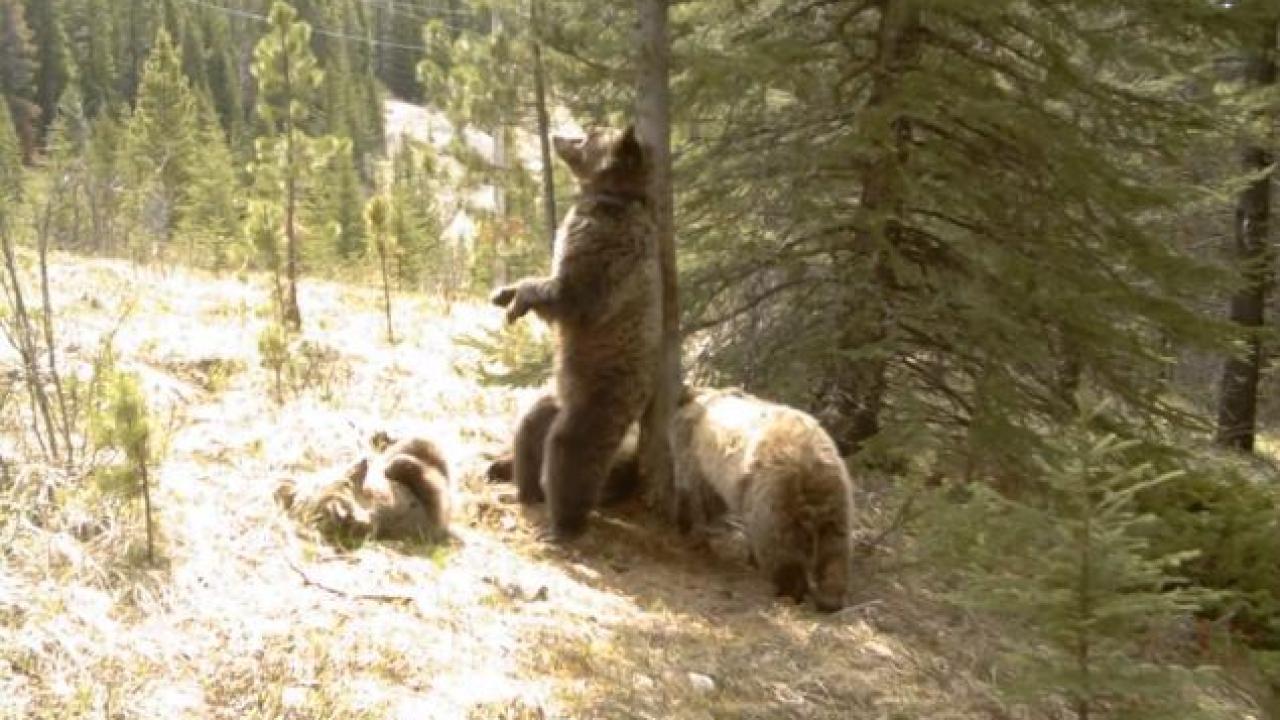 Wie halten die Bären wild wie Sie aufwachen aus dem Ruhezustand
