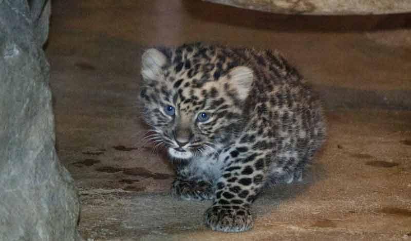 Sochi, an Amur leopard, was born at Denver Zoo Dec. 3, 2013. Photo credit: Denver Zoo