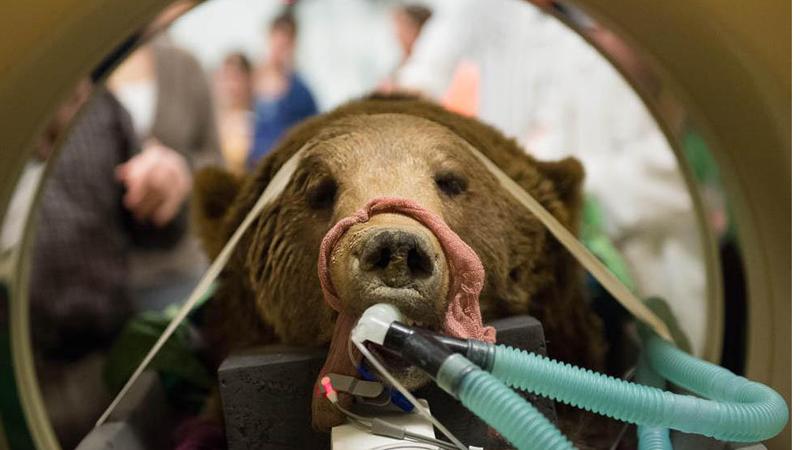 CSU bear surgery
