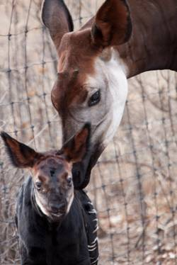 Rare okapi calf only sixth birth of species at Denver Zoo