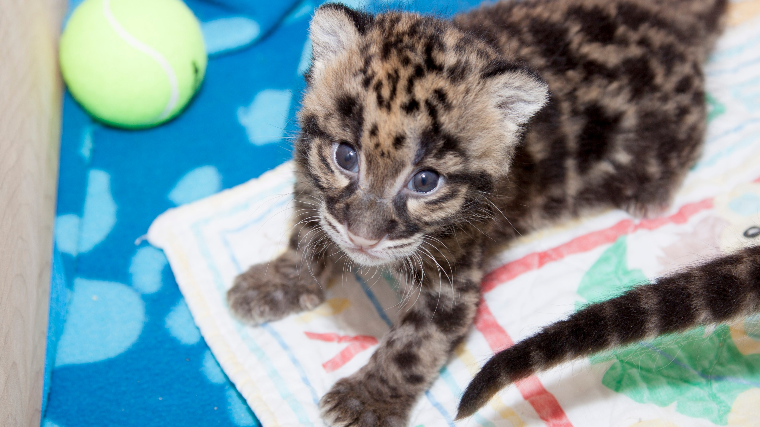 Pi and Rhu, Denver Zoo's clouded leopard cub can be viewed by public. (Photo: Denver Zoo)
