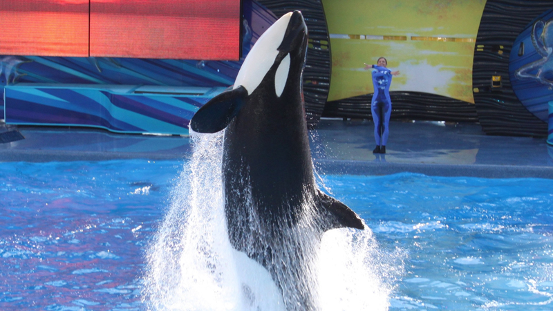 SeaWorld's New Killer Whale Show 'One World' premier where trainers do not enter the water with the whales.