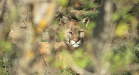 Mountain lion. Courtesy: Colorado Parks and Wildlife