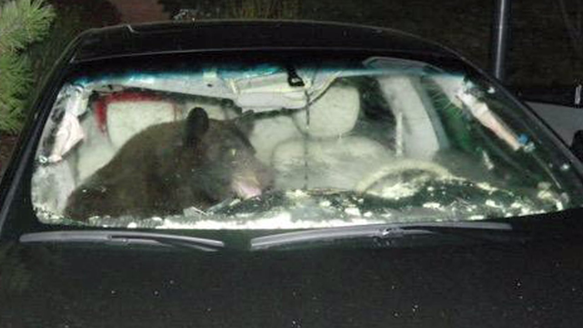Black bear trapped in car in Castle Pines, Colo.