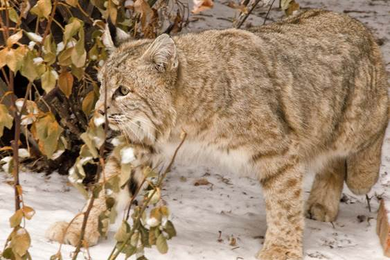 Bobcat in University Hill neighborhood of Boulder. Photo: Jan Otto