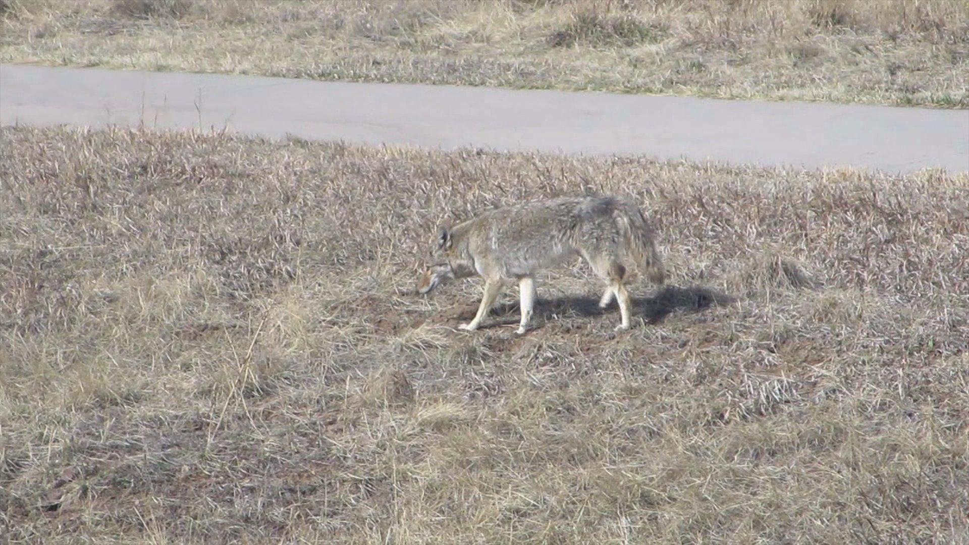 Coyote in Highlands Ranch neighborhood