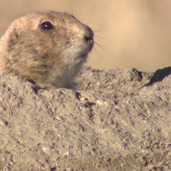 Prairie dog at the site of Promenade at Castle Rock