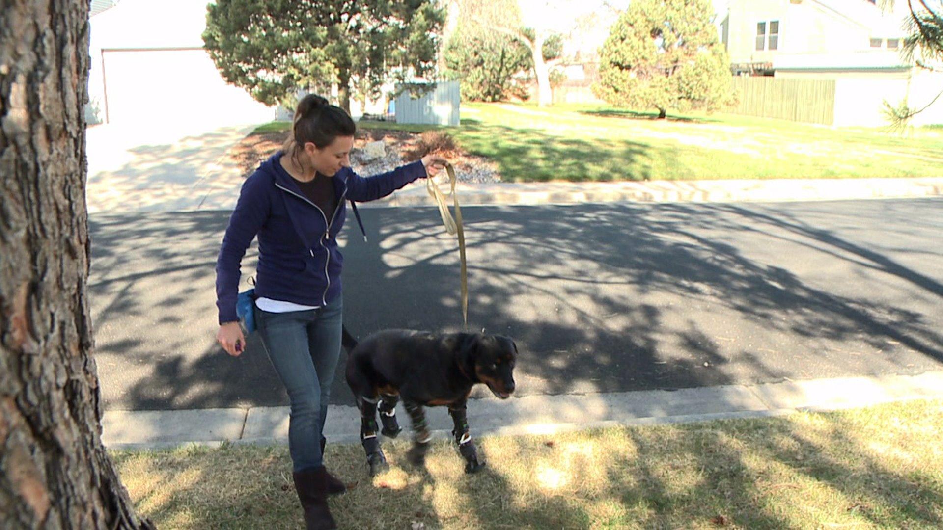 Quadruple amputee dog gets around in full set of prostetics