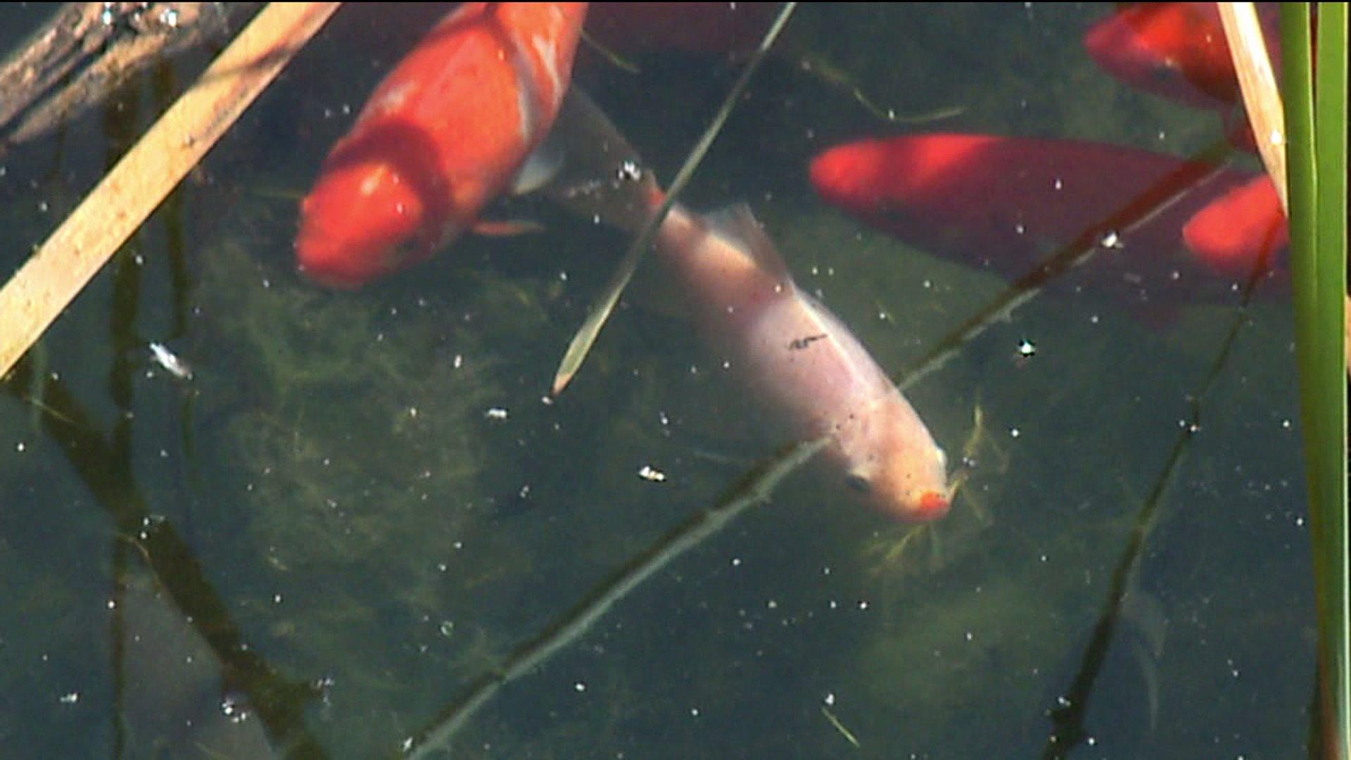 Goldfish in Teller Lake in Boulder County, Colo