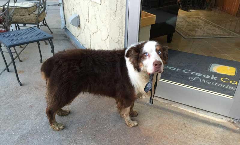Australian shepherd will be available for adoption soon