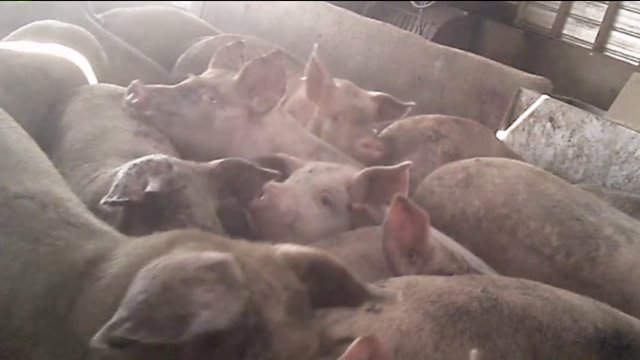 Pigs at Seaboard Foods facility in Phillips County, Colo