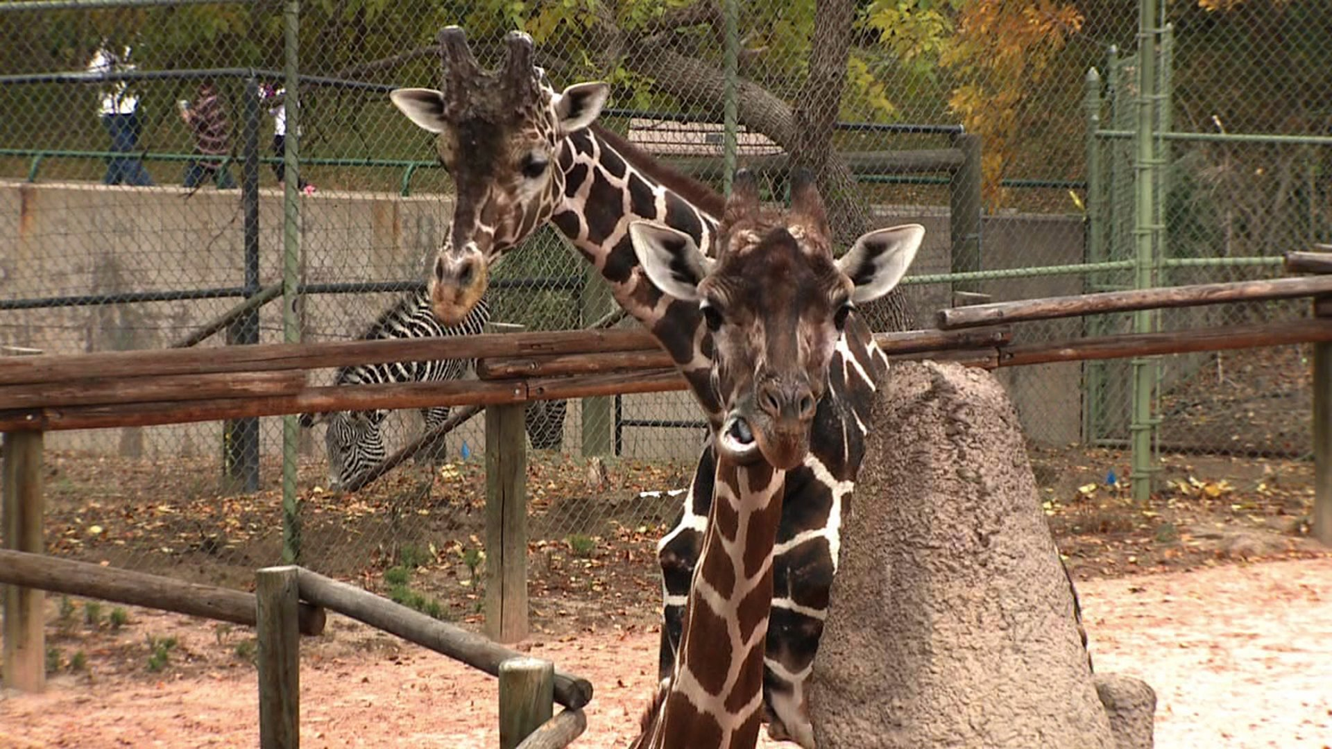 Griaffes at the Denver Zoo