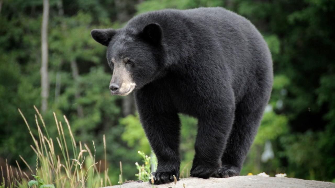 Data baru menunjukkan 92 beruang eutanasia oleh CPW di 2019