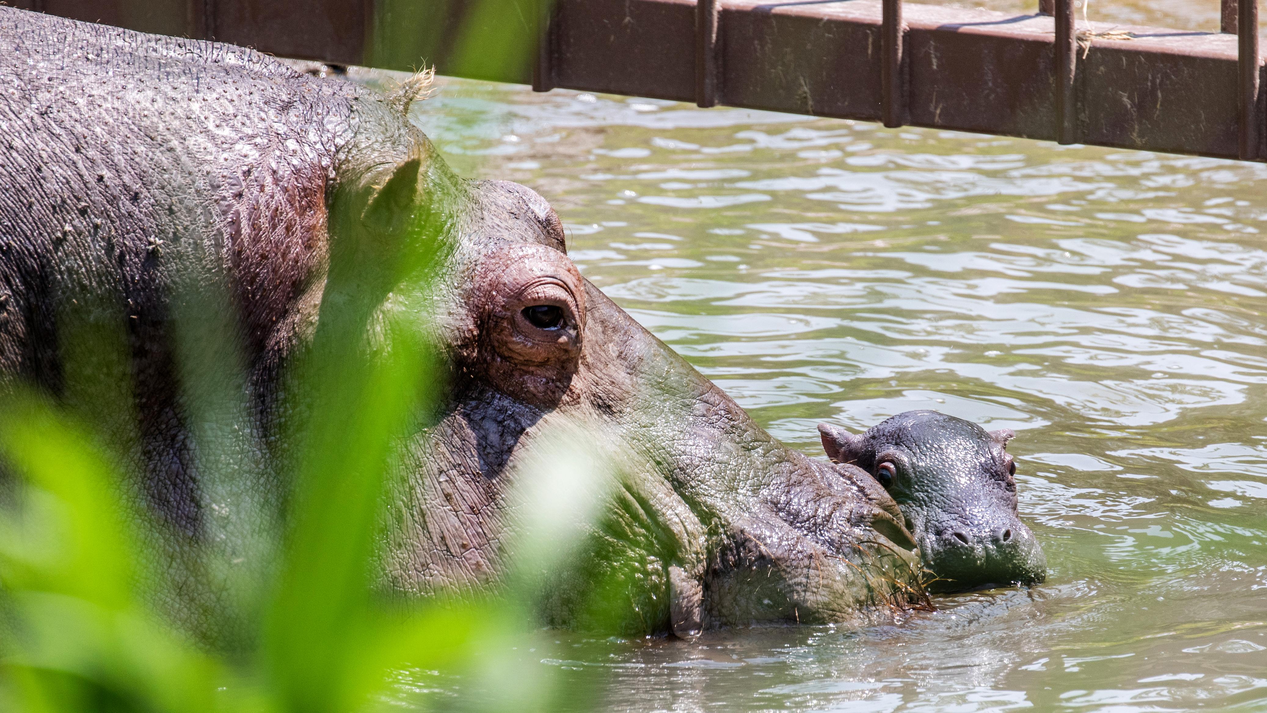 vedere hipopotam miopie factori de risc